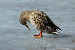 野鸭鸭子母鸡 库存图片