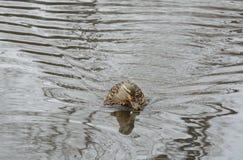 野鸭鸭子母鸡 免版税图库摄影