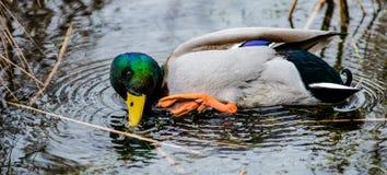 野鸭鸭子洗涤物 免版税库存图片