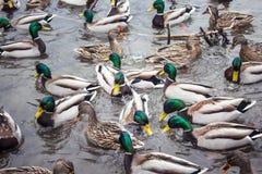 野鸭鸭子混乱食物争夺 免版税库存图片
