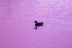 野鸭鸭子游泳剪影在日落的一个湖 免版税库存照片