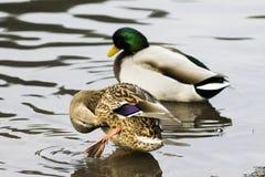 野鸭鸭子游泳在湖,群 免版税库存图片