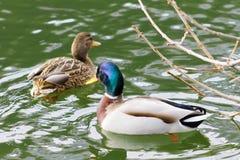 野鸭鸭子游泳在湖,群 免版税库存照片