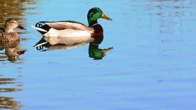 野鸭鸭子游泳池塘反射水蓝色 免版税库存图片