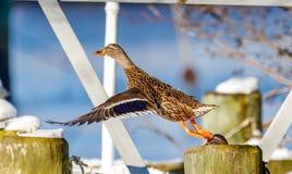 野鸭鸭子离开 免版税图库摄影