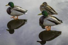野鸭鸭子站立 库存图片