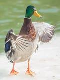 野鸭鸭子翼传播了身分 库存图片