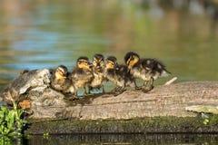 野鸭鸭子语录platyrhynchos家庭杂乱的一团 图库摄影
