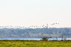 野鸭鸭子飞行 库存图片