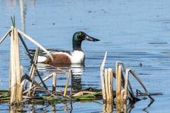 野鸭鸭子,水,湖 免版税库存图片
