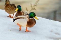 野鸭鸭子-德雷克 免版税库存照片