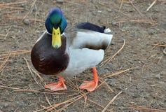 野鸭鸭子 库存图片