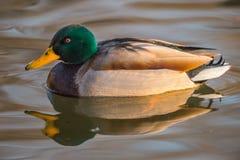 野鸭,反射在水中 库存照片
