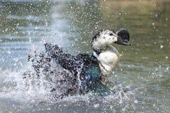 野鸭,当飞溅在水时 图库摄影