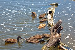 野鸭,索尔沃什,匈牙利 免版税图库摄影