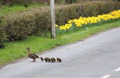 野鸭,语录platyrhynchos,年轻横穿路 库存照片