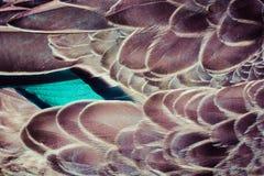 野鸭(语录platyrhynchos)鸭子用羽毛装饰背景纹理 库存图片