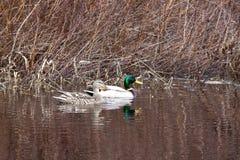 野鸭夫妇在水中。 免版税库存照片