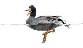 野鸭quacking,漂浮在水, 免版税图库摄影