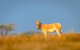 野驴有美好的背景 库存图片
