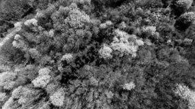 野黑樱桃发辫鸟瞰图开花在森林里的 免版税图库摄影