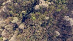 野黑樱桃发辫鸟瞰图开花在森林里的 库存图片