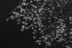 野黑樱桃bossom 免版税图库摄影