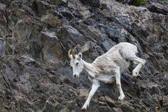 野绵羊阿拉斯加 库存照片