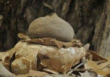 量显地星真菌 免版税库存照片