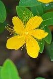 金丝桃属植物特写镜头 免版税库存照片