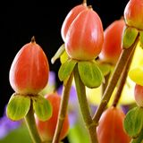 金丝桃属植物红场 库存照片