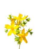 金丝桃属植物约翰perforatum s st麦芽酒 库存照片