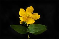 金丝桃属植物花和叶子反对黑色 库存照片