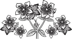 金丝桃属植物 免版税库存照片