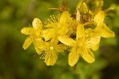 金丝桃属植物 库存照片