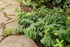 金丝桃属植物calycinum分支在砂岩道路说谎  selec 免版税库存图片