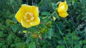 金丝桃属植物hookerianum人和Arn 库存图片