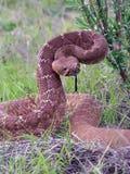 金刚石响尾蛇准备好的红色罢工 免版税库存照片