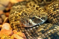 金刚石支持的响尾蛇的画象 库存照片