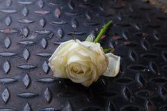 黑金刚石板材钢的老白玫瑰 免版税库存图片
