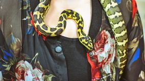金刚石Python,墨瑞利亚spilota,由所有者的乳房温暖了 库存照片