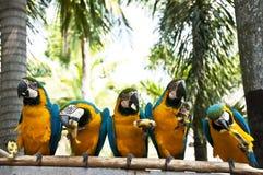 金刚鹦鹉。 免版税库存图片