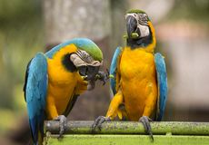 金刚鹦鹉两只鹦鹉并且吃坐栖息处 库存照片