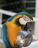 金刚鹦鹉享用 免版税图库摄影
