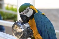 金刚鹦鹉享用 图库摄影