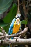 金刚鹦鹉吃西瓜 库存照片