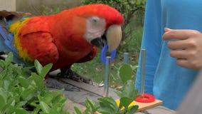 金刚鹦鹉在动物园的鹦鹉训练特写镜头  模仿训练区别与颜色圆环的颜色 影视素材
