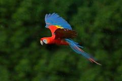 金刚鹦鹉在深绿植被的鹦鹉飞行 猩红色金刚鹦鹉, Ara澳门,在热带森林里,哥斯达黎加,从回归线na的野生生物场面 库存照片