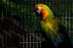 金刚鹦鹉在鸟舍 免版税库存照片