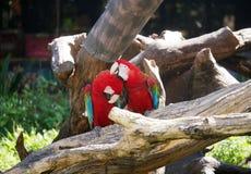 金刚鹦鹉夫妇在言情场面的 库存图片